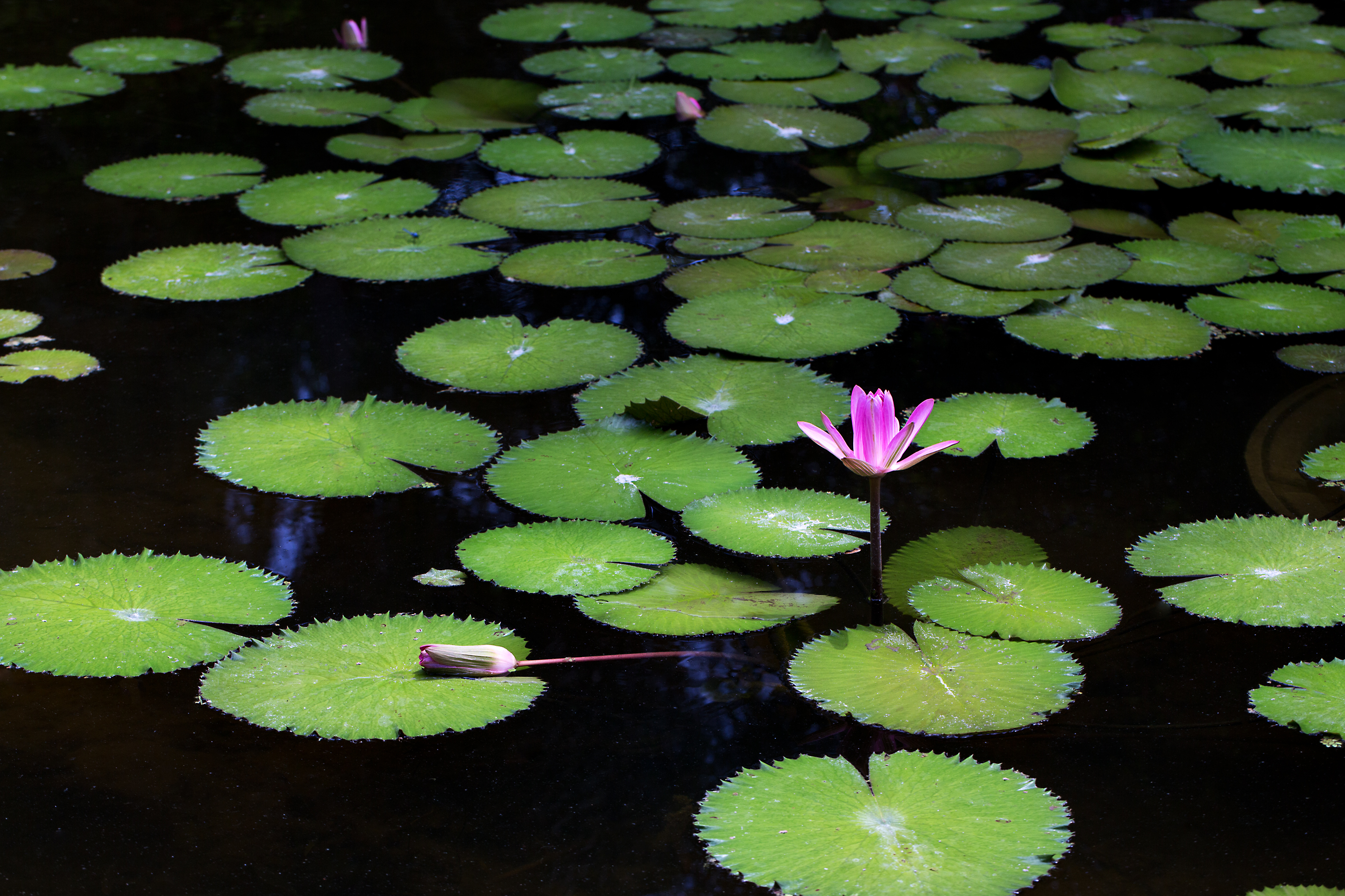 """""""Dancing on Lily ..."""